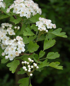 Phänologischer Sommeranfang: Weißdornblüte
