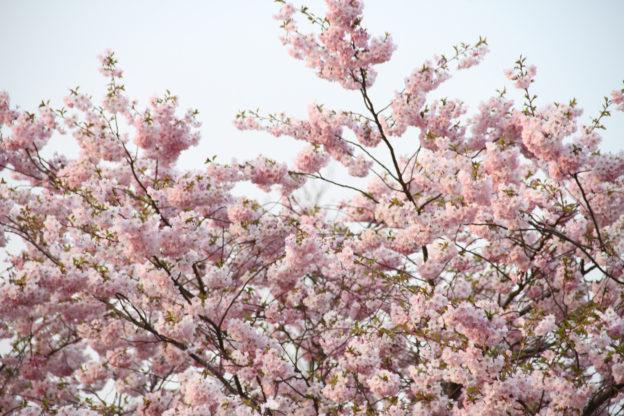 Kirschblüte: Hanami in Hamburg