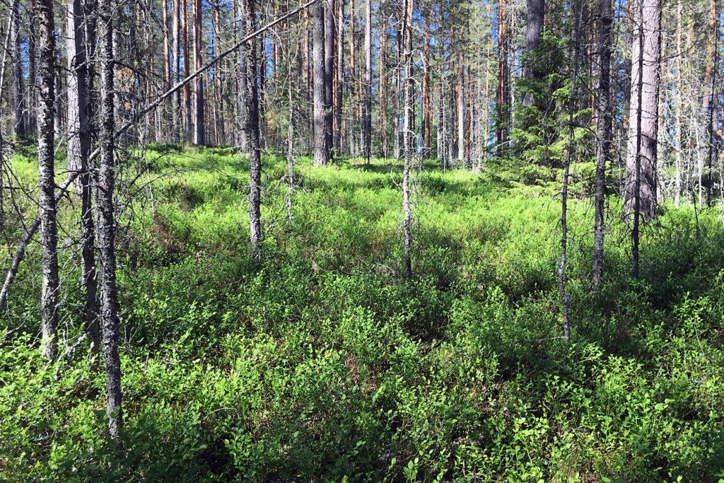 Blaubeeren im Wald, Finnland