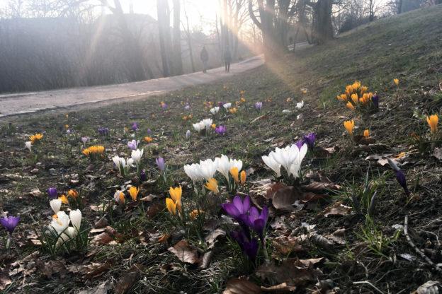 Füehlingsanfang: Krokusse im Park